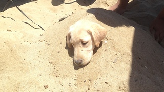 Puppy loves to be buried in sand - Video