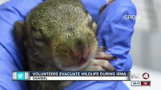Volunteers evacuate wildlife during Irma - Video
