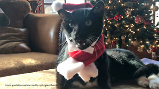 Cat has to be bribed to wear Santa outfit - Video