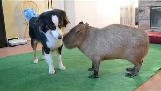 Capybara Bonds With Collies - Video