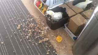Cockatoo Makes a Mess Just After Cleaning - Video