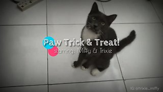 Cat does Cute Paw Trick but gets distracted  - Video