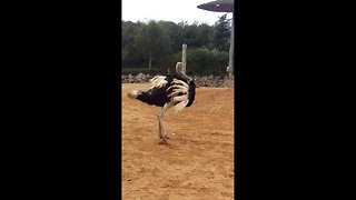 Excited ostrich performs wild, balletic spinning moves