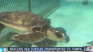 Rescued Sea Turtles transported to Tampa - Video