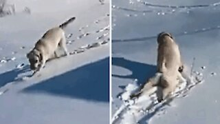 A dog loves to slide on the snow