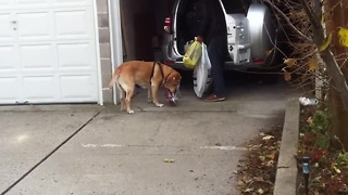 Dog helps owner bring groceries into the house - Video