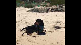 Sausage Dog Enjoys Running Along the Beach