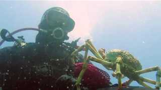 Diver Gets Hug From Creepy Spider Crab - Video