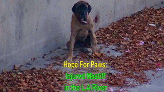 Hope For Paws and L.A. Fire Department saving an injured Mastiff from L.A River - Video