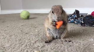 Adorable baby prairie dog pup eating a carrot
