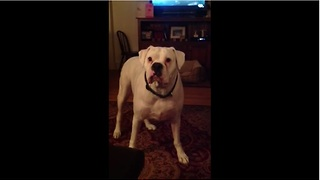 Tired boxer argues with owner about bedtime - Video