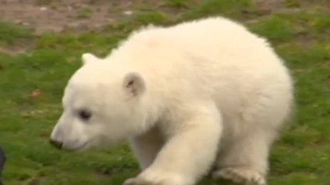 Berlin's famed polar bear cub Fritz sadly dies