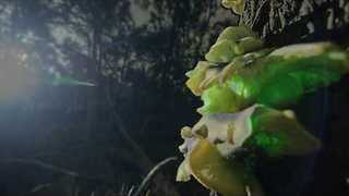 Ghost Fungus Glows Bright at the Ocean Grove Nature Reserve - Video