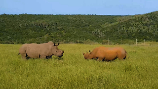 White Rhino Vs Black Rhino In Rare Face-Off: SNAPPED IN THE WILD - Video
