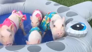 Mini pigs enjoy mini pool party - Video
