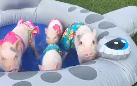 Mini pigs enjoy mini pool party