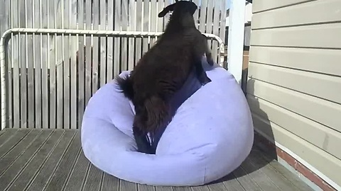 This Cool Goat Is On A Mission To Balance On A Blow-Up Chair