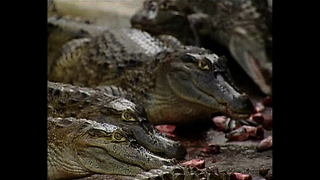Crocodile Restaurant - Video