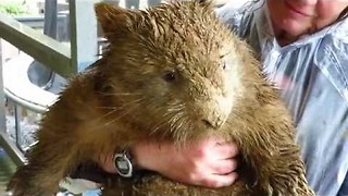 Mud-Soaked Wombat Shows Effects of Australian Storms - Video
