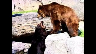 Brown Bears Move House - Video