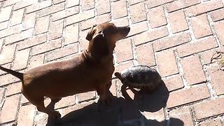 Dog and tortoise share incredible bond together - Video