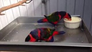 Excited Lorikeets Can't Stop Bouncing Together - Video