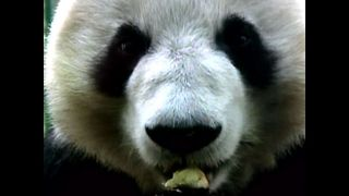 China To Help Reproduce Pandas - Video