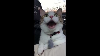Cat yawns for over 30 seconds - Video