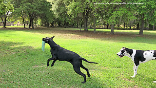 Great Danes argue over who gets to deliver newspaper