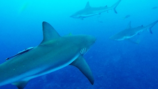 Chumming The Water Attracts Wrong Kind Of Sharks - Video