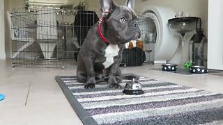 French Bulldog puppy displays vast array of dog tricks - Video