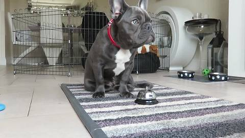 French Bulldog puppy displays vast array of dog tricks