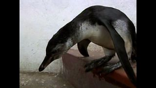 Lost Penguin Washes Up In Lima - Video