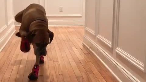Suzie the dog tries on her new boots