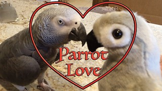 Einstein the Parrot falls in love with toy parrot - Video