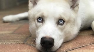Husky worried after becoming a Dad!  - Video