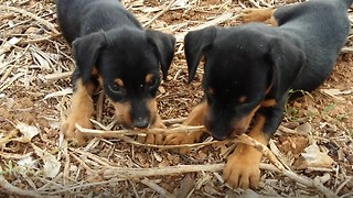 Funny two puppies, one stick - Video
