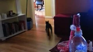 Harley the kitten plays fetch like a dog! - Video