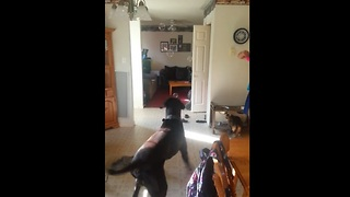 Great Dane's first experience with bubbles! - Video