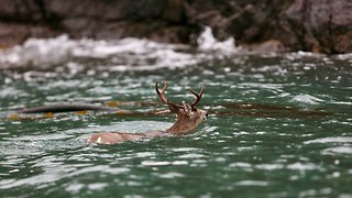 Boat Captain Steers Swimming Deer Away From Killer Whales - Video
