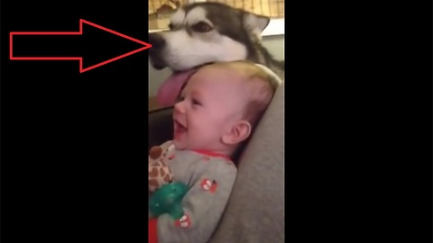 Baby has mind blown by howling husky