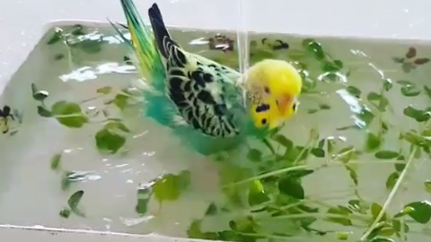 Parakeet receives royal treatment for bath time