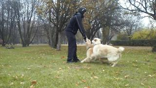 Stubborn Golden Retriever refuses to let go of stick - Video