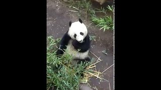 Hungry Panda Stuffs Bamboo Into His Mouth - Video