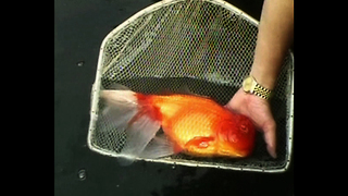 World's BIGGEST Goldfish? - Video