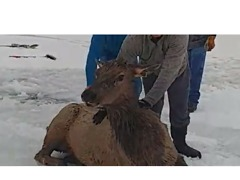 Elks Rescued From Icy Reservoir in Wyoming