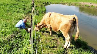 Motorist helps reunite distraught mother cow with her newborn baby