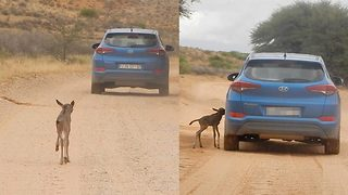 Wait for me! Rare wildebeest calf running after car it thinks is mum - Video