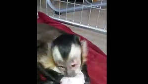 Loving monkey bonds with newborn puppies - Video