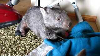 Barloo the Wombat Wriggles Up Against a Scratching Post - Video